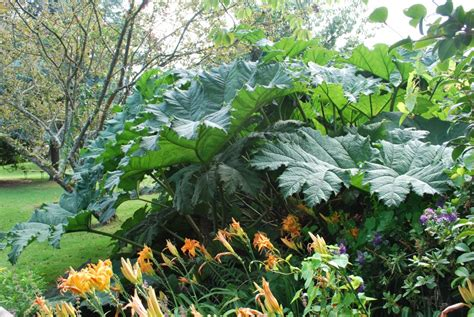 Planter De La Rhubarbe by Ou Planter La Rhubarbe Trendy Ou Planter La Rhubarbe With