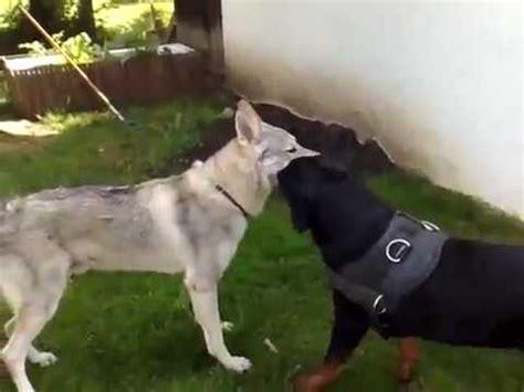 wolf vs rottweiler rottweiler vs wolf