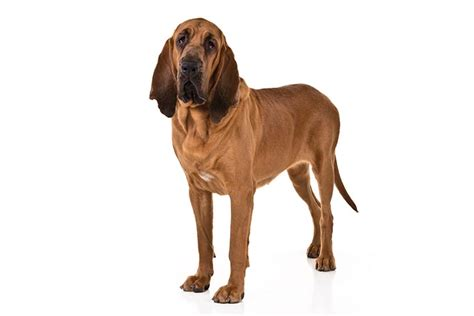 bloodhound colors bloodhound breed information