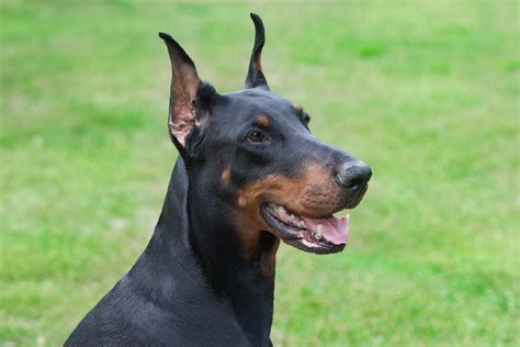 breeds with pointy ears dogs with pointy ears breeds picture
