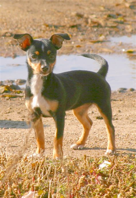 rat terrier chihuahua mix puppies doberman chihuahua mix puppies