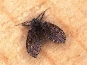 Where Do Gnats Come From In The Bathroom Tiny Black Moths Flea Town House Vacuum Drains