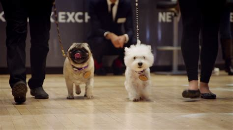 westminster pug westminster show pug westie visit the new york stock exchange funnydog tv