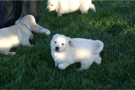 golden retriever puppies for sale in southern illinois golden retriever puppy for sale near southern illinois illinois 2c5ff09f 72a1