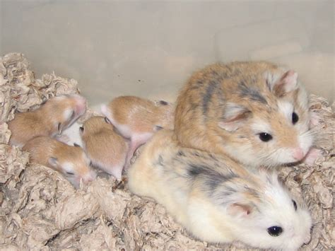 hamsters x mobile roborovski s babies bred by hamsters white faced x
