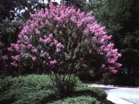crape myrtle colors crepe myrtle trees and shrubs nyc trees