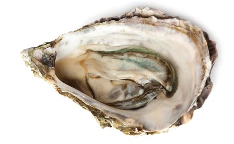 oyster shell know your remedies calcarea carbonica calc