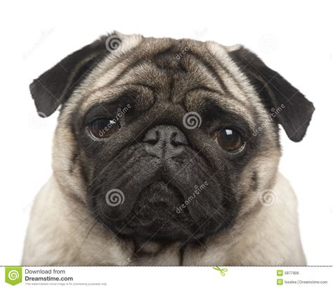 4 year pug pug 4 years royalty free stock image image 5877906