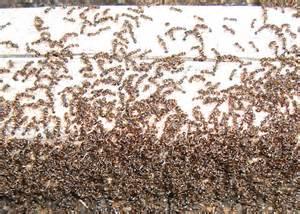 small brown ants tetramorium species e bugguide net
