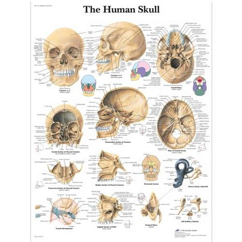 the human skull is divided into what two sections human skull chart 1001478 vr1131l skeletal system