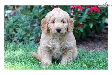 goldendoodle puppies near me goldendoodle puppy for sale near lancaster pennsylvania d53cbcb3 5951