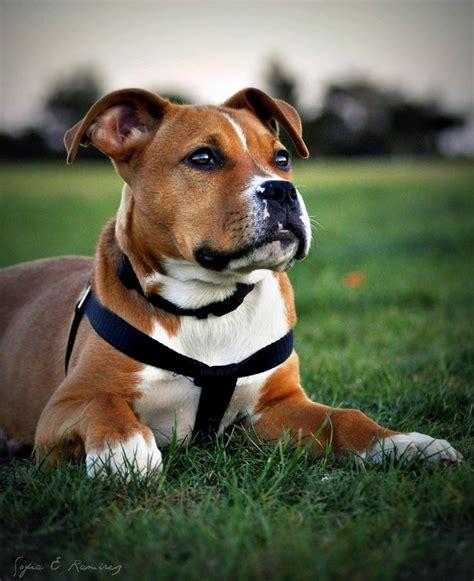 boxer pitbull puppies chevy boxer pit bull mix by sofiaeramirez on deviantart