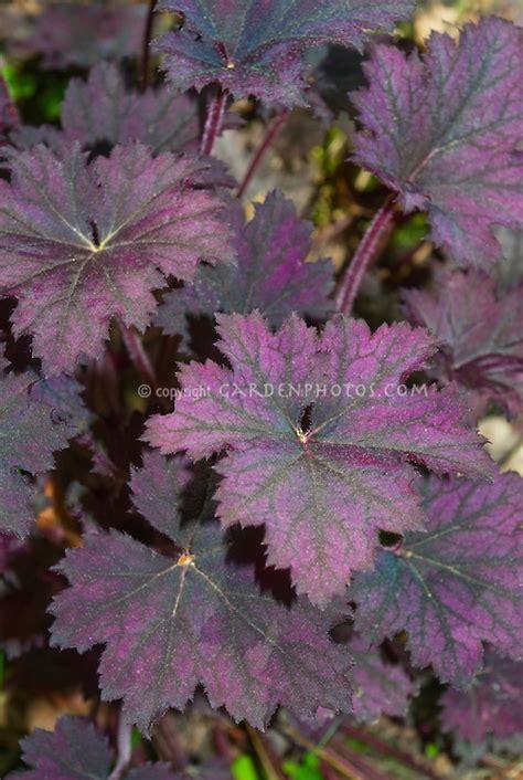 purple foliage plants purple leaf heuchera frosted violet plant flower