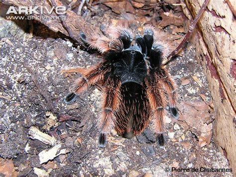 Brachypelma Auratum Baby Tarantula 1 mexican pink tarantula photos and facts brachypelma klaasi arkive