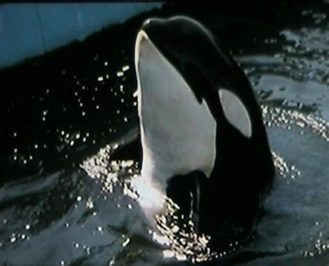The Miracle Whales Miracle The Killer Whale That Activists Killed Simply Orcas