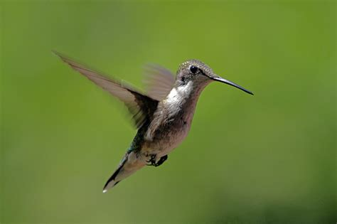 ruby throated hummingbird bernardsville nj flickr