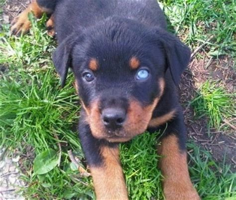rottweiler with blue rottweiler breed pictures 1
