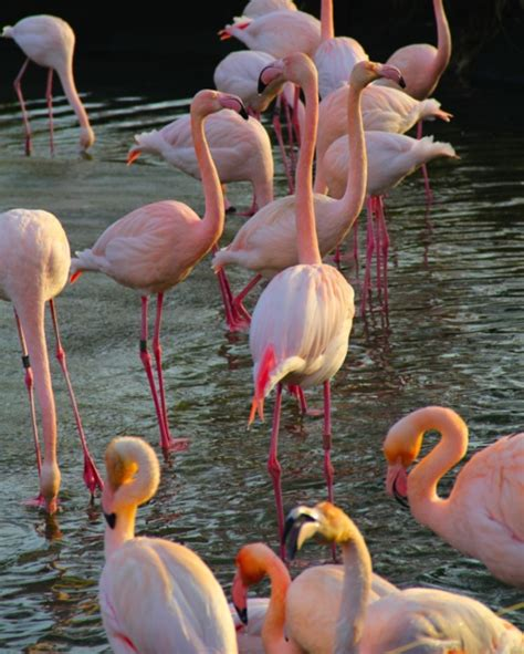 Flamingo Bofriend 25 best nature flamingos images on pink