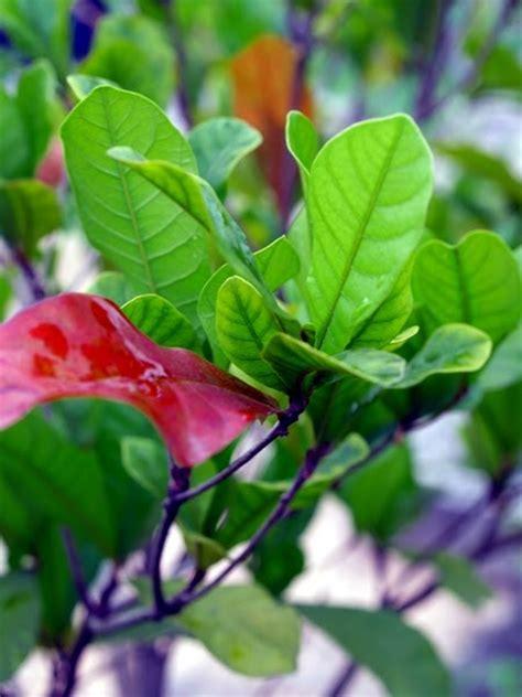 Benih Miracle Fruit Miracle Berry tanamsendiri grow your own gambar hari ini