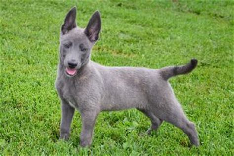 blue german shepherd puppies for sale cher car kennels what is a blue shepherd
