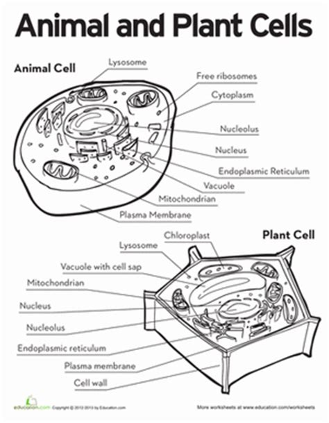 Animal And Plant Cells Worksheet Answers worksheets education