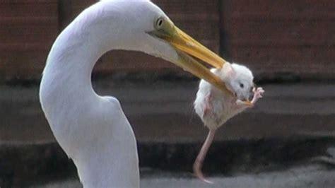 egret eats mouse youtube