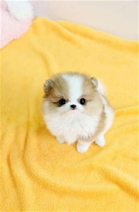 pomeranian kills baby 17 best ideas about teacup kitten on teacup kittens adorable