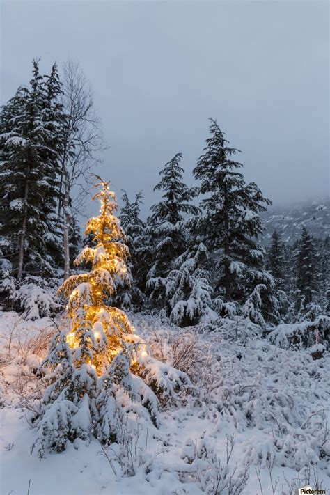 snowy alaskan cluster light tree a festive mountain hemlock evergreen tree strung with white lights and covered in snow in a