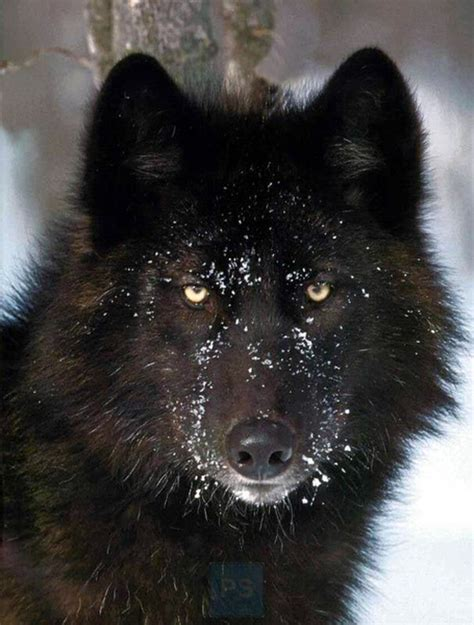 imagenes lobo negro el lobo negro fotos formulatv