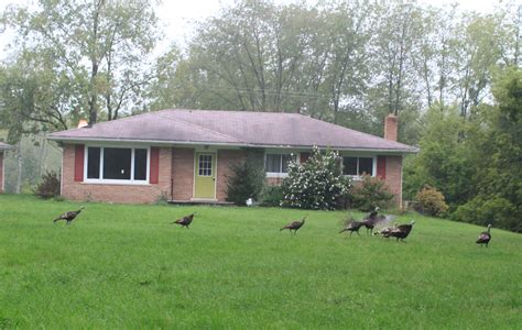 what to do in your backyard wild turkeys in your yard effective wildlife solutions