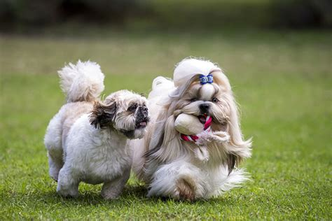 what were shih tzu bred for breed of the week shih tzu nation