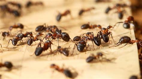 Hausmittel Gegen Ameisen Im Rasen 4016 by Ameisen Im Blumentopf Beautiful Natrliche Hausmittel