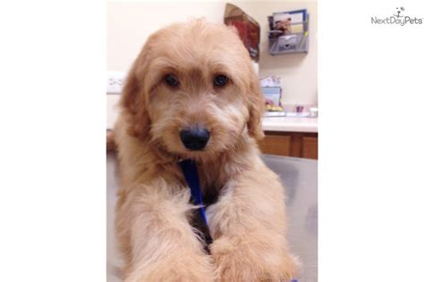 special needs puppies for sale goldendoodle puppy for adoption near chicago illinois c056130d 83b2
