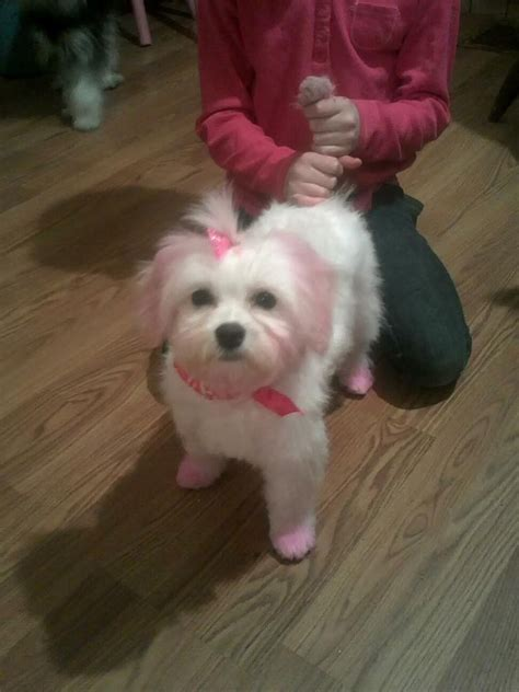 hair dye for dogs i to dye dogs hair friends