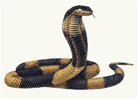 cryptomundo egyptian cobra escapes  bronx zoo