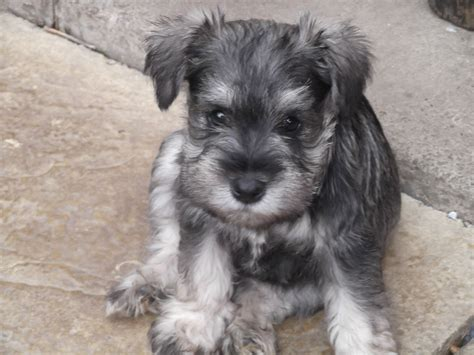 miniature puppies kc reg miniature schnauzer puppies ready now pontefract west pets4homes