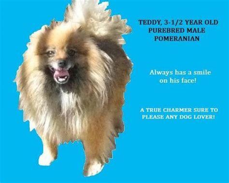 pomeranian purebred pomeranian purebred fluffy m 3 1 2 years california sna diego