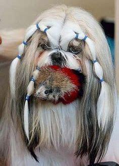 round face dog cut shih tzu on pinterest shih tzu dog wickets and ewok