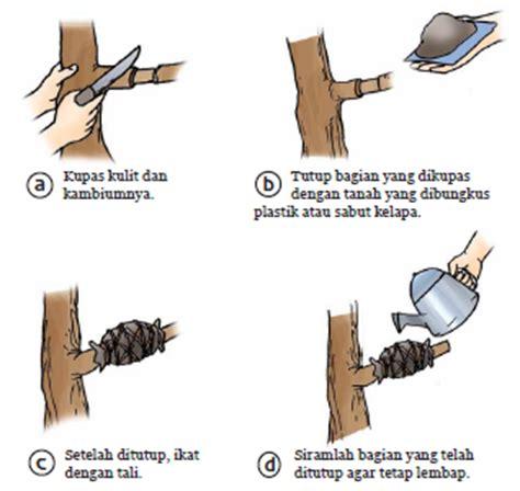 Bibit Alpukat Medan bibit alpukat mentega jual bibit alpukat jumbo unggulan