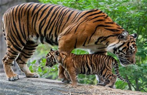 baby tiger with big tiger with images big tiger with baby cub hd wallpaper hd wallpapers
