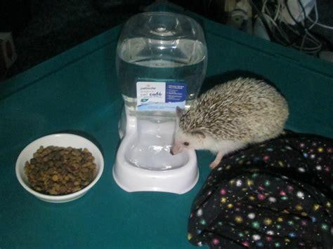 water dish pygmy hedgehog pet must items