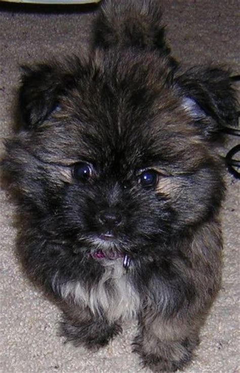 pictures of shih tzu pomeranian mix pomeranian shih tzu mix puppies