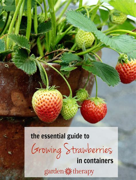 container gardening strawberries growing strawberries in containers
