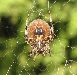 Garden Spider Orb Garden Orb Spider Neoscona Crucifera Bugguide Net