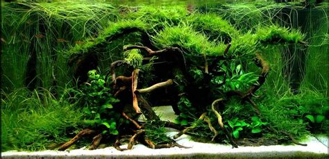 Aquascaping With Driftwood by Aquarium Driftwood Manzanita Wood Aquarium Gardens