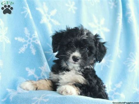 miniature aussiedoodle puppies for sale 1000 ideas about miniature puppies on miniature dogs aussie puppies and