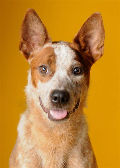 australian cattle adoption heeler dogs for adoption breeds picture