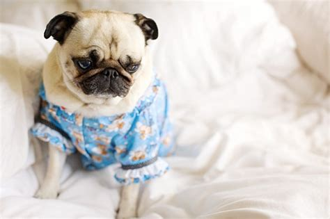 pajamas for pugs pajama pug pug pictures