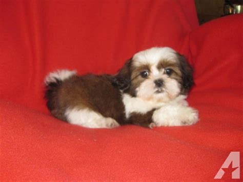 white and brown shih tzu ckc white and brown shih tzu puppy 10 weeks for sale in phelan