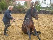 pferd liegen beibringen reitkurse beritt friesenausbildung in ganz europa vor
